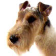 Archy, Wire Fox Terrier