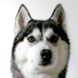 Breeze, Siberian Husky
