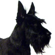 Dalglish, Scottish Terrier
