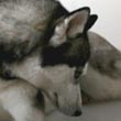 Kloud & Breeze, Siberian Huskies