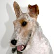 Max, Wire Fox Terrier