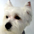 Ollie, West Highland Terrier